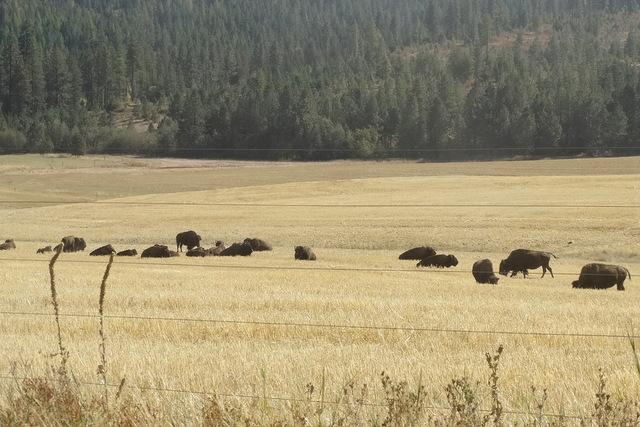Farm-grown buffalo