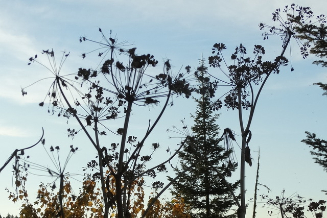 Tall and woody, almost like Queen Ann's Lace.  What is it?