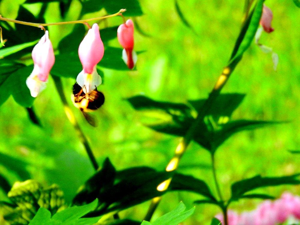 Bumble bee on bleeding hearts